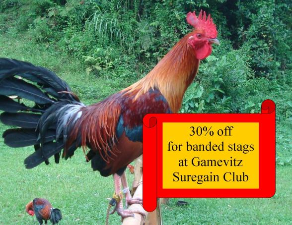 Suregain club offers to members big discounts on game fowl both breeding materials and battle crosses from leading participating gamefarms.